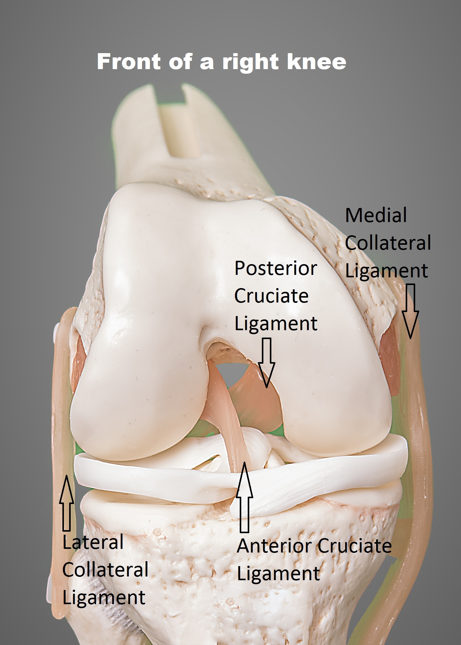 front view of knee
